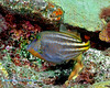 Orangespotted Filefish 1