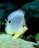 Foureye Butterflyfish 4