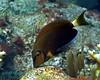 Ocean Surgeonfish 3
