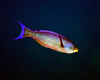 Creole Wrasse 2