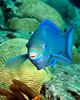 Queen Parrotfish 1