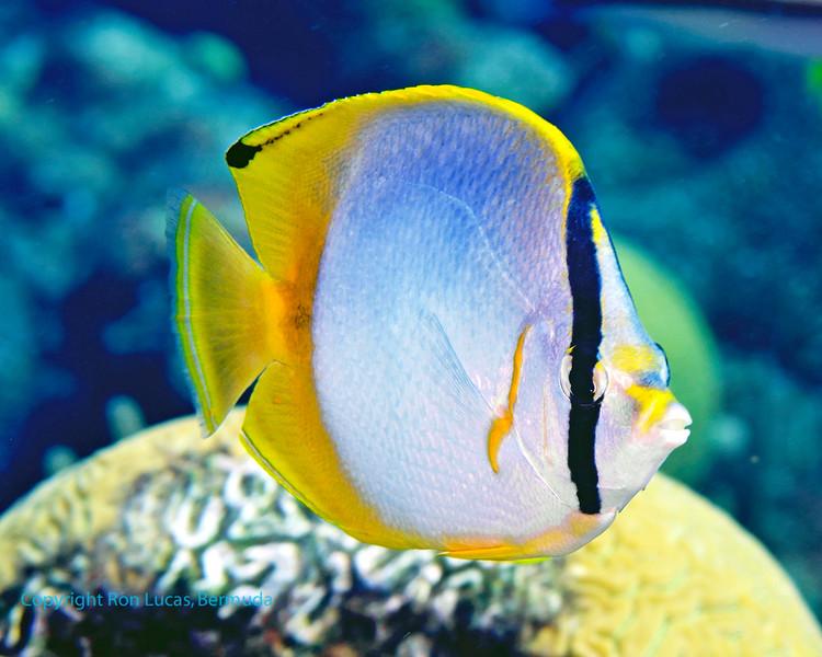 Spotfin Butterflyfish 1