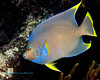 Blue Angelfish 3