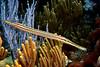 Trumpetfish 5