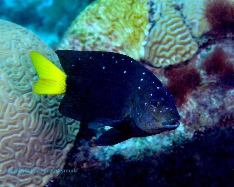 Yellowtail Damselfish 1