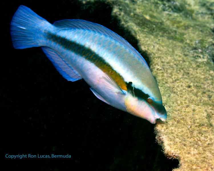 Striped Parrotfish 1