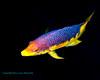 Spanish Hogfish 3