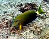 Ocean Surgeonfish 1