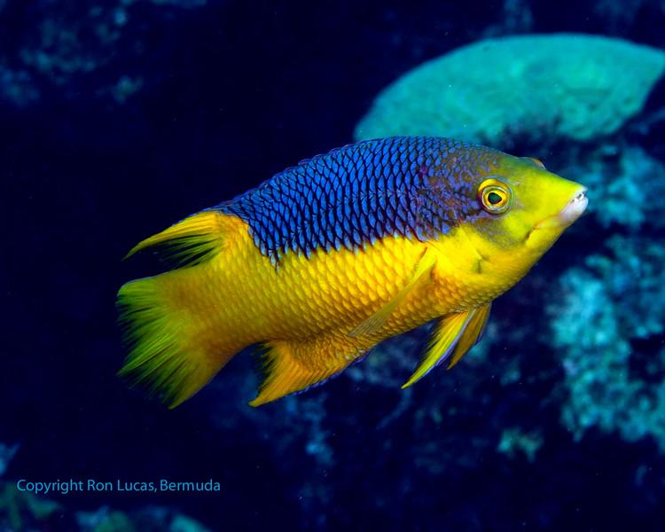 Spanish Hogfish 1