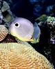Foureye Butterflyfish 3
