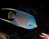 Blue Angelfish 4
