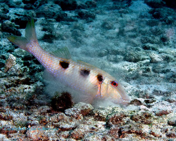 Spotted Goatfish 1