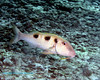 Spotted Goatfish 2