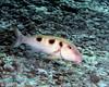 Spotted Goatfish 2