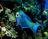 Queen Parrotfish 3
