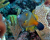 Whitepotted Filefish 1
