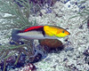 Yellowhead Wrasse 1