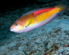 Yellowhead Wrasse 5