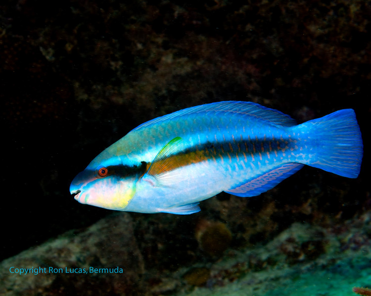 Striped Parrotfish 2