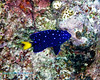 Yellowtail Damselfish Juv 1