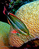 Redband Parrotfish Initial Phase 3