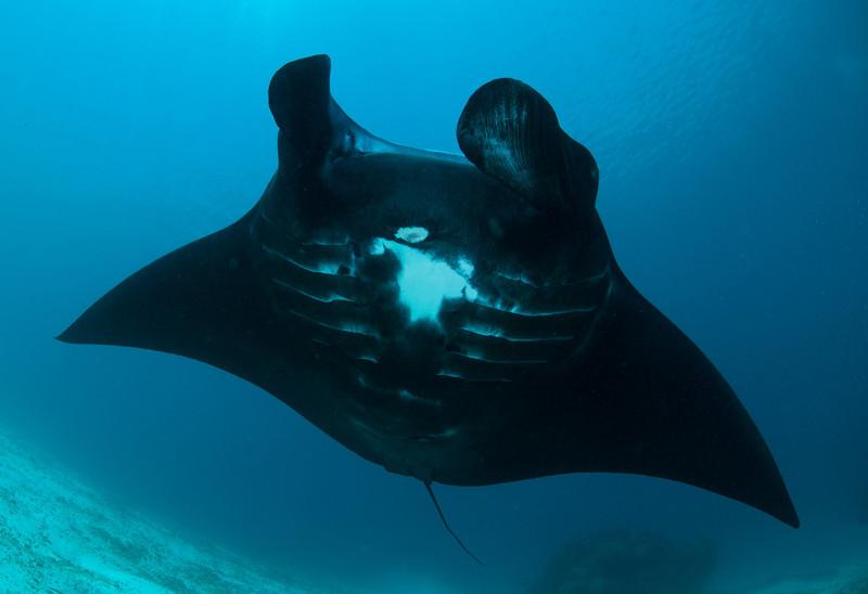 Manta Ray black morph