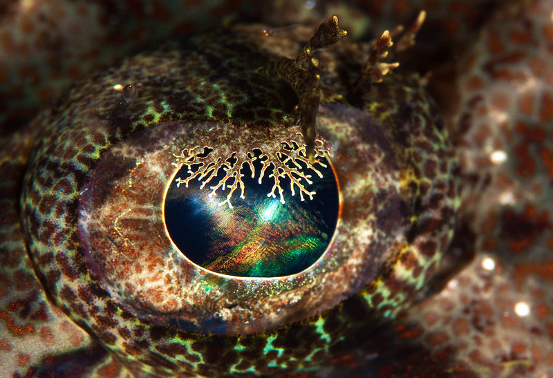 Eye of a Crocodile Fish