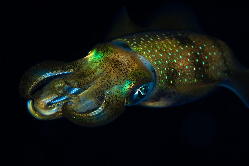 Squid in midwater-night dive.