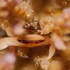Black Mask Coral Crab (Tetralia mnigrolineata)