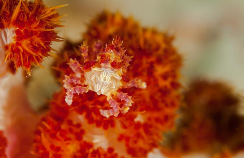 Soft Coral Crab (Hoplophrys oatesii)