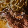 Yellow-spotted Anemone Shrimp (Ancylomenes luteomaculatus)