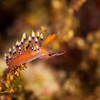 Desirable Flabellina Nudibranch