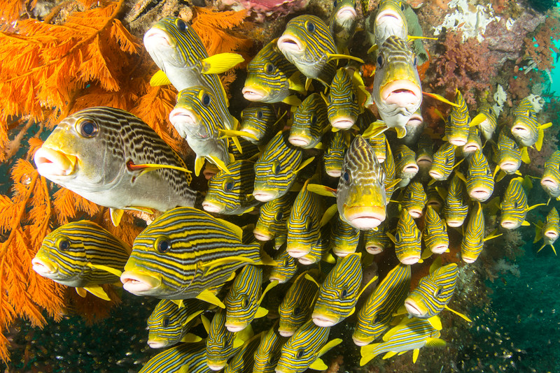 Schooling sweetlips