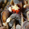 Squat Lobster on anemone