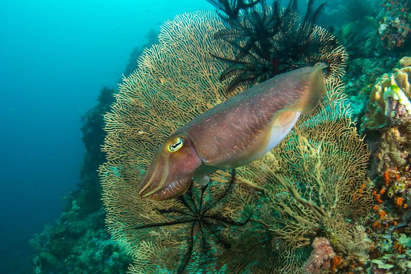 Giant cuttlefish