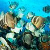 Bannerfish massing