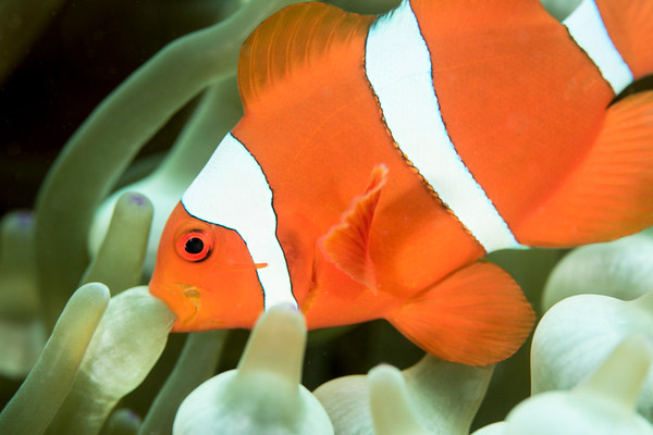 Clownfish behavior on anemone