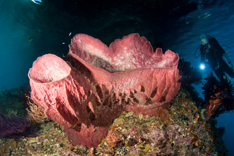 Barrel sponge and diver