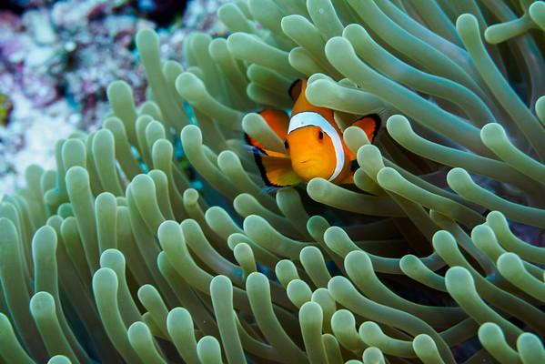 Anemonefish, aka Nemo