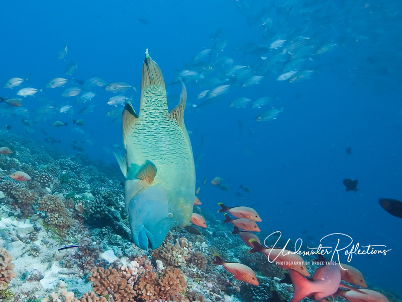 A Napoleon Wrasse (3-4 ft) goes vertical as he looks for something to eat among the coral below.