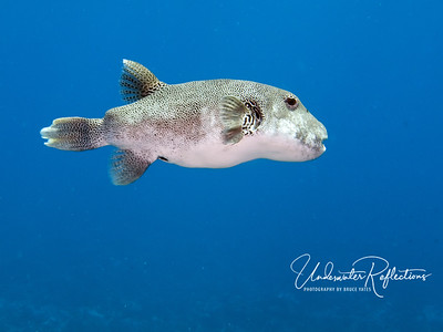 A large puffer (2 ft) takes a break from eating coral to swim in the open water.