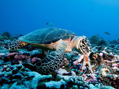 This Hawksbill turtle is moving a piece of coral rubble, hoping to find an edible snack underneath.