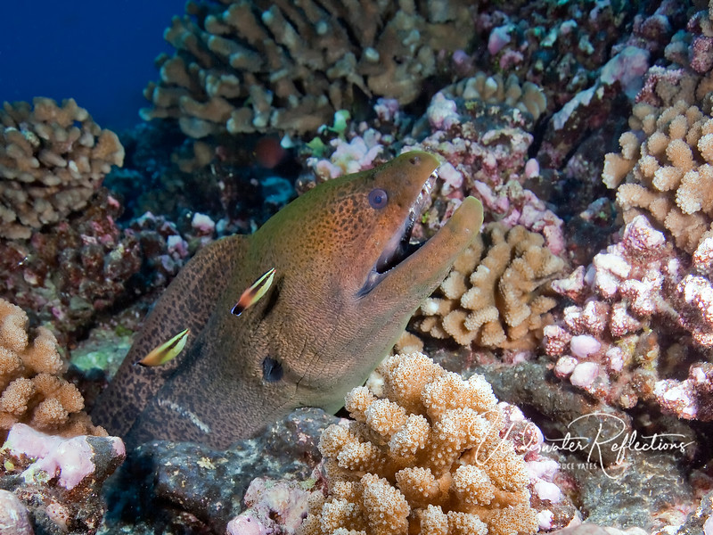 Moray eel being groomed by two colorful cleaner wrasses (their tube-shaped mouths perfect for picking off parasites).