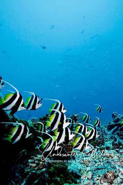 School of bannerfish (with school of jacks in background)