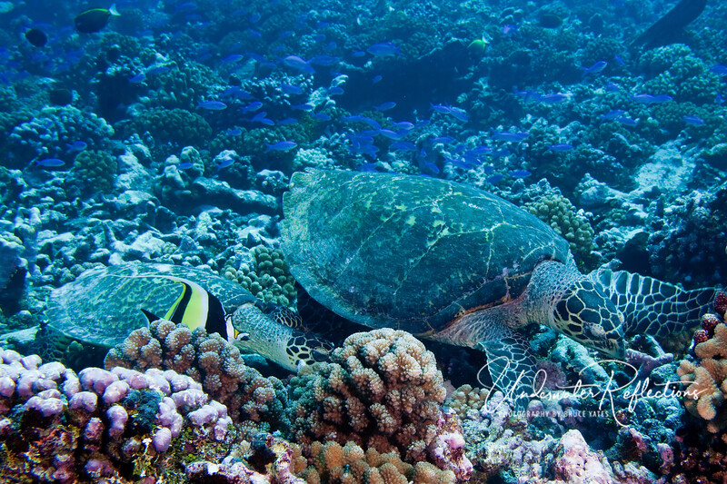 A pair of Hawksbill turtles search the coral for edible bits!  The small one appeared to be following the larger one in hopes of being led to good eating spots.