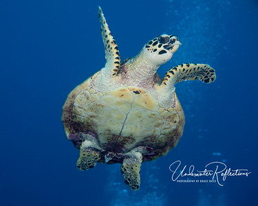 Hawksbill turtle heads for the surface for a breath of air.