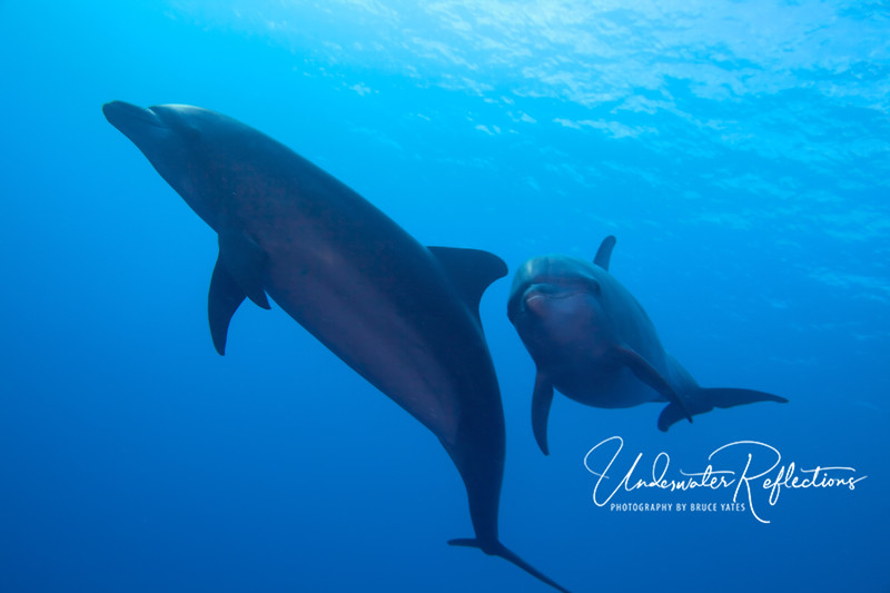 The same pair of wild Bottlenose dolphins.