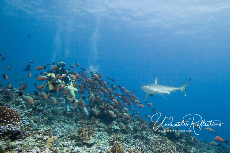 A silvertip shark (6 ft) swims by Marco, our dive guide.  Marco has a dead fish, the smell of which has attracted a swarm of snapper (1 ft).  The excited snappers, in turn, attract the silvertips, which normally stay in deeper water.