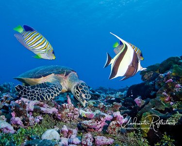 When turtles are rummaging through coral rubble for something to eat, fish often hover nearby, hoping the turtle will uncover something they can eat as well.  Here, two Regal Angelfish and a Moorish Idol are watching and waiting.