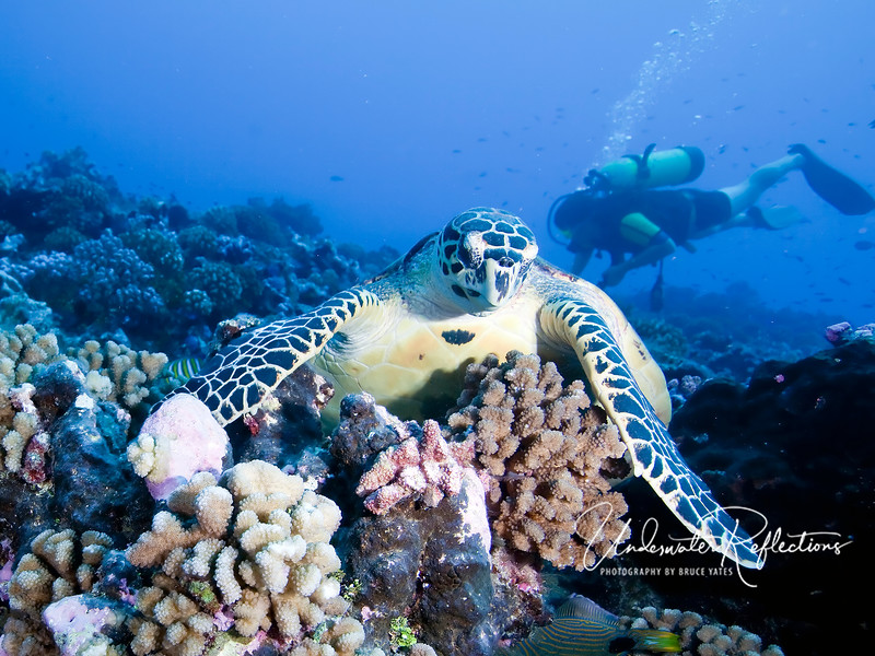 Hawksbill turtles are plentiful in Rangiroa, and can be seen on nearly every dive.